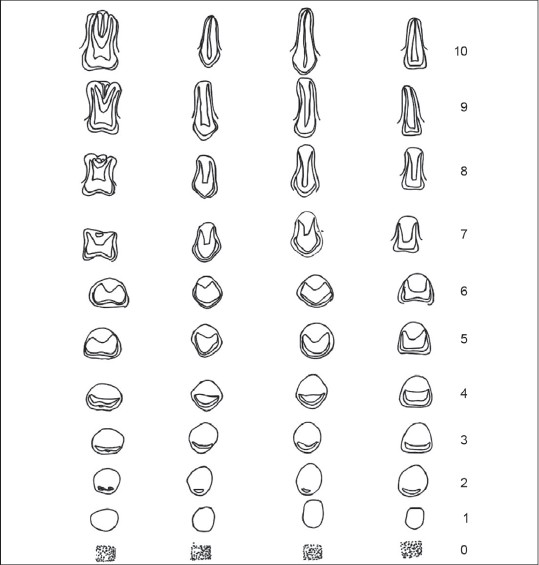 Figure 1: Nolla's developmental stages of permanent teeth